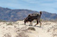 Wilde Ziegen in der Wüste von Oman Stockfotografie