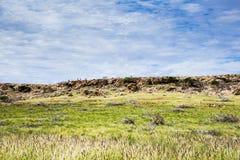 Wilde Ziegen, die heraus über einem Berg schauen Stockfotos