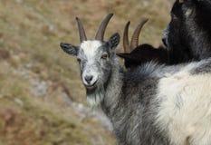 Wilde Ziegen-Gruppe in der Cheddarkäse-Schlucht England Lizenzfreies Stockfoto