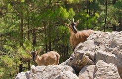 Wilde Ziegen kri-kri in der Samaria Schlucht. Lizenzfreie Stockbilder