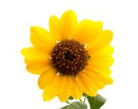 Wilde zonnebloem stock afbeelding