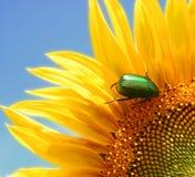 Wilde zonnebloem en een groen insect Stock Afbeeldingen