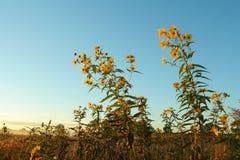 Wilde zonnebloemen Stock Foto