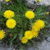 Wilde zonnige bloem Royalty-vrije Stock Foto's