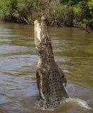 Wilde zoutwaterkrokodil die, Australië springt royalty-vrije stock afbeelding