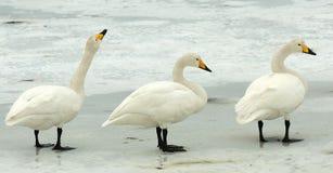 Wilde Zwaan, Whooper Swan, Cygnus cygnus. Wilde Zwanen staand op ijs, Whooper Swans perched on ice stock images