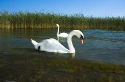 Wilde zwanen dichtbij een lakeshore Stock Afbeelding