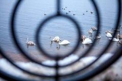 Wilde zwanen in een cirkel gesmede omheining royalty-vrije stock foto