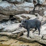 Wilde zwarte beertribune op rots Stock Afbeeldingen