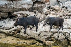 Wilde zwarte beertribune op rots Stock Foto's