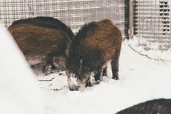 Wilde zwarte en bruine beer in Finland royalty-vrije stock afbeelding