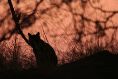Wilde zwarte kat Royalty-vrije Stock Afbeeldingen