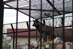 Wilde Zwarte wolf Stock Foto