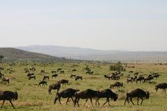 wildebeast переселения Стоковые Фото