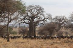 Wildebeast africano bajo un árbol Fotografía de archivo libre de regalías