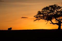 Wildebeast en la puesta del sol Fotografía de archivo