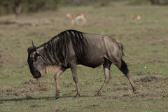 Wildebeast grazing plains Stock Photos