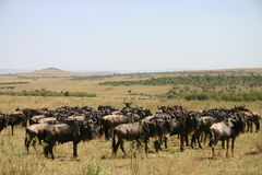 Wildebeast migration Royalty Free Stock Photo