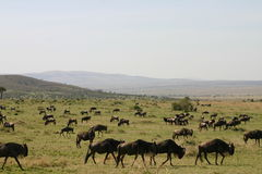 Wildebeast migration Stock Photos