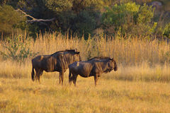 Wildebeast pair. A Wildebeast couple at Pilanusberg stock photo