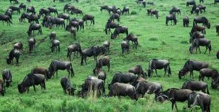 Wildebeast reunido em Tanzânia, África fotografia de stock royalty free