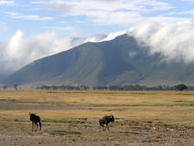Wildebeast scenery in Ngorongoro Crater. Two wildebeast in a beautiful scenery with in the background the Ngorongoro Crater rim Stock Images