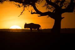 Wildebeast Silhouette at Sunset Royalty Free Stock Image