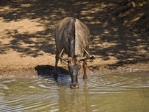 Wildebeast at waterhole Stock Photo