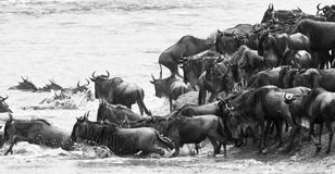 Wildebeeest crossing a river in black and white Stock Photos