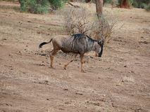 Wildebees антилопы на сафари в Tarangiri-Ngorongoro Стоковая Фотография