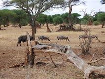 Wildebees антилопы на сафари в Tarangiri-Ngorongoro Стоковое фото RF