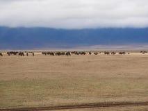 Wildebees антилопы на сафари в Tarangiri-Ngorongoro Стоковое Изображение RF