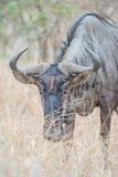 Wildebeess through the grass Stock Photography