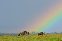 Wildebeest κάτω από το ουράνιο τόξο Στοκ Εικόνα