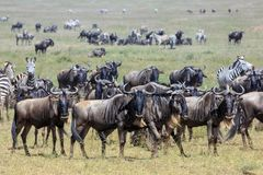 Wildebeest και Zebras στο Serengeti κατά τη διάρκεια της μεγάλης μετανάστευσης στοκ εικόνες με δικαίωμα ελεύθερης χρήσης