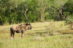 Wildebeest στη Νότια Αφρική Στοκ φωτογραφίες με δικαίωμα ελεύθερης χρήσης