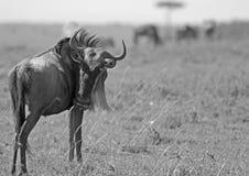 Wildebeest στις πεδιάδες του Masai mara Στοκ φωτογραφία με δικαίωμα ελεύθερης χρήσης