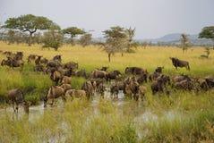 Wildebeest στον ποταμό κατά τη διάρκεια της μεγάλης μετανάστευσης στοκ φωτογραφία