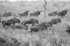 Wildebeest στο τρέξιμο Στοκ Εικόνα