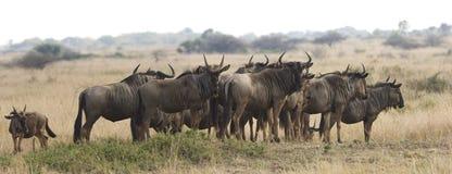 wildebeest сафари табуна стоковые изображения