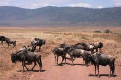 wildebeest следа скрещивания Стоковое Изображение RF