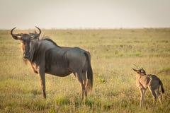 wildebeest Photos libres de droits