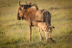 wildebeest Royaltyfri Fotografi