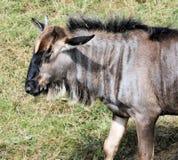 Wildebeest Fotografia Stock Libera da Diritti