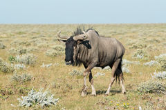 Wildebeest Royalty Free Stock Image