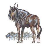Wildebeest. (Africa). Hand drawing watercolor Stock Photography