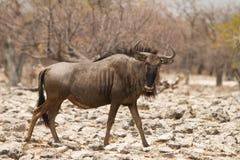 wildebeest Obrazy Stock