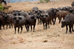 Wildebeest Stock Photos