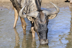 Wildebeest. A wildebeest drinking at a watering hole Royalty Free Stock Photo