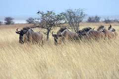 Wildebeest Stock Foto